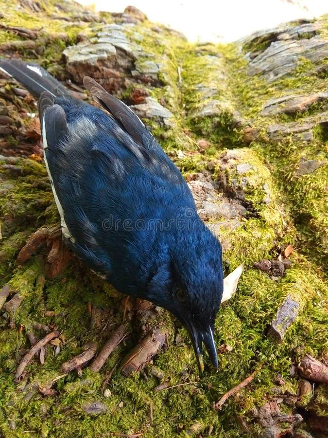 Speichern Sie Vögel dieser Vogel, den Name Elsterrotkehlchen ist stockbilder
