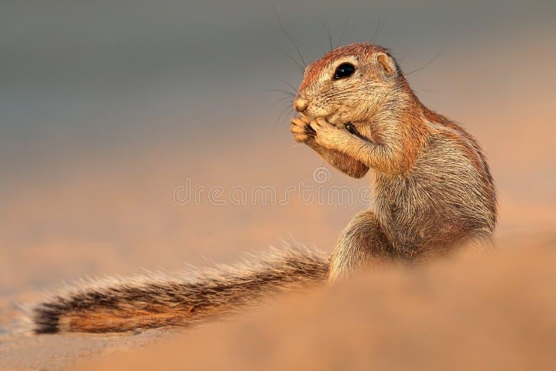 Speisendes Grundeichhörnchen lizenzfreies stockbild