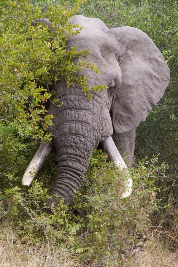 Download Speisenelefant stockbild. Bild von kruger, führen, tusks - 26374297