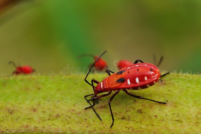 Speisennährstoff Des Roten Insekts Auf Essbarem Eibisch. Stockfotografie