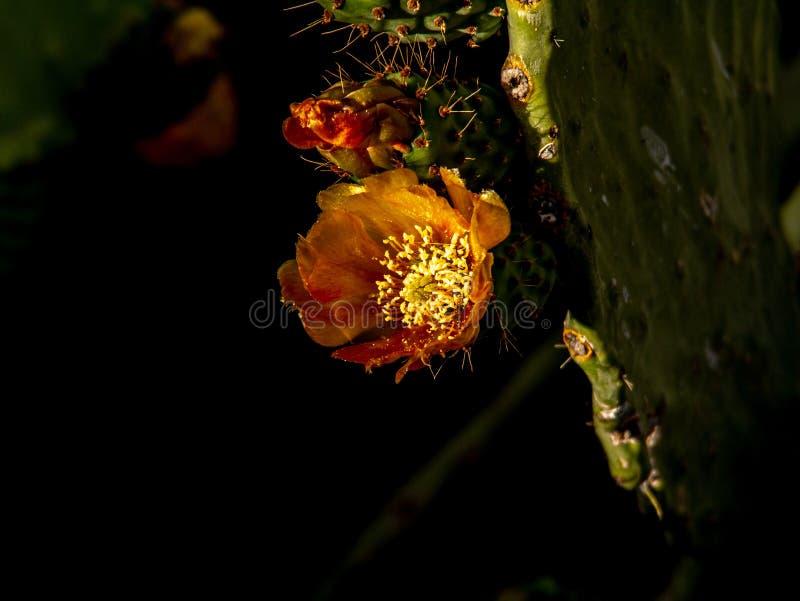 Spektakulärt slut upp av en kaktusblomning arkivfoton