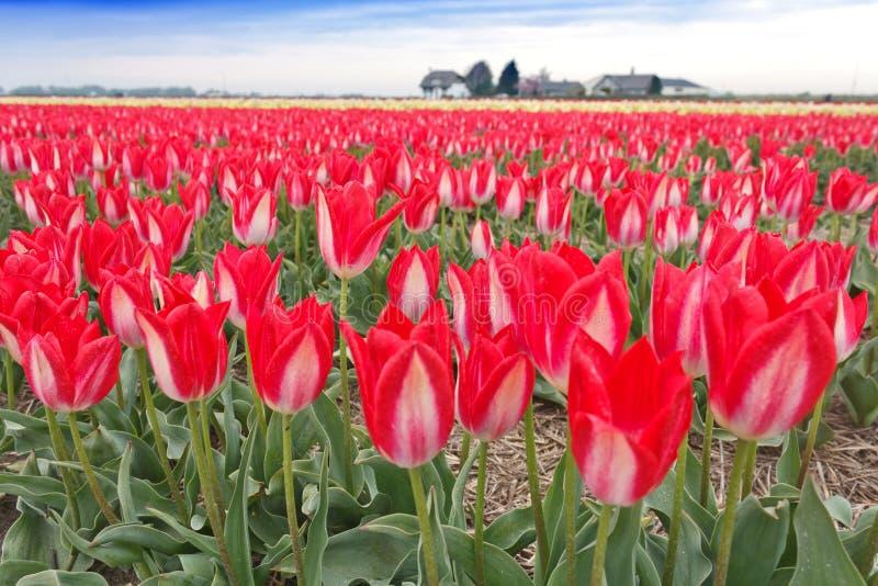 Spektakulärt vitt rött tulpankulafält arkivfoton