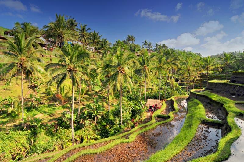 Spektakularni i dramatyczni ryżowi tarasy w Bali blisko wioski Tegallalang, Indonezja zdjęcie stock