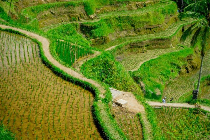 Spektakularni i dramatyczni ryżowi tarasy w Bali mogą widzieć blisko wioski Tegallalang, w Ubud Indonezja obrazy royalty free