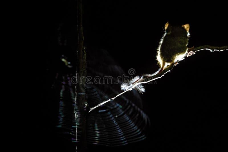 Spektral-Tarsier, Tarsius, endemisches nächtliches Säugetier aufpassendes spinder im Netz, netter Primas im großen Ficusbaum im D lizenzfreies stockfoto