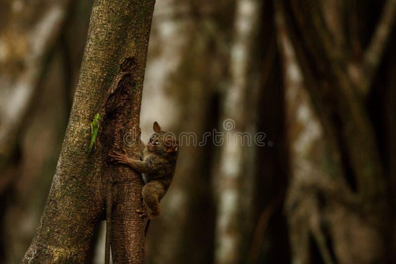 Spektral-Tarsier, Tarsius, Porträt des seltenen endemischen nächtlichen Säugetieres, das versucht, Heuschrecke, netten Primas zu  lizenzfreie stockfotografie