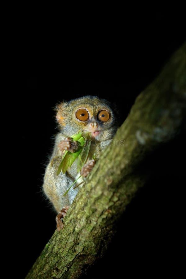 Spektral-Tarsier, Tarsiusspektrum, Porträt des seltenen nächtlichen Tieres mit Fangtötungs-Grünheuschrecke, im Großen Ficusbaum, lizenzfreies stockfoto