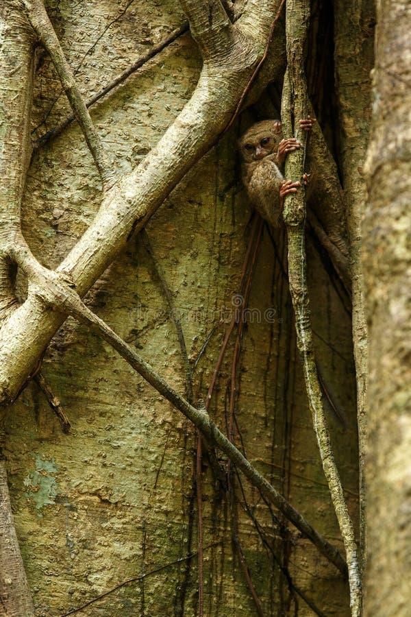 Spektral-Tarsier, Tarsiusspektrum, Porträt von seltenen endemischen nächtlichen Säugetieren, kleiner netter Primas im großen  stockfoto