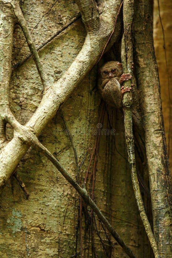 Spektral-Tarsier, Tarsiusspektrum, Porträt von seltenen endemischen nächtlichen Säugetieren, kleiner netter Primas im großen  stockbild