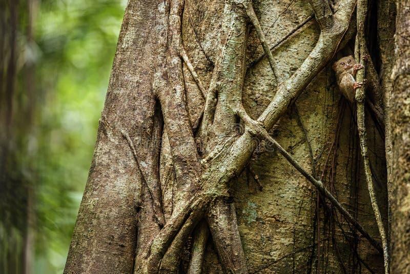 Spektral-Tarsier, Tarsiusspektrum, Porträt von seltenen endemischen nächtlichen Säugetieren, kleiner netter Primas im großen  lizenzfreie stockfotos