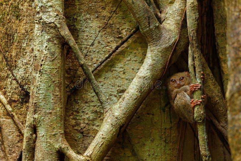 Spektral- Tarsier, Tarsiusspektrum, stående av det sällsynta nattliga djuret, i naturlivsmiljön, stort fikusträd, Tangkoko medbor arkivfoto