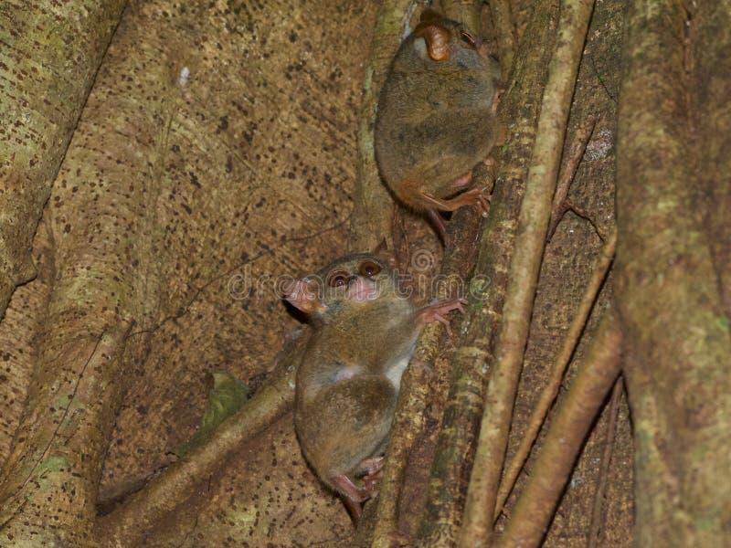 Spektral- tarsiers i fikonträd arkivfoto