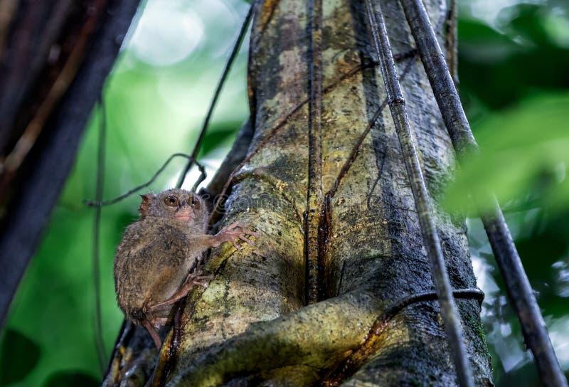 Spektralny tarsier na drzewie Naukowy imię: Tarsius widmo nazwany Tarsius tarsier, także środowisko naturalne Sulawesi wyspa obrazy royalty free