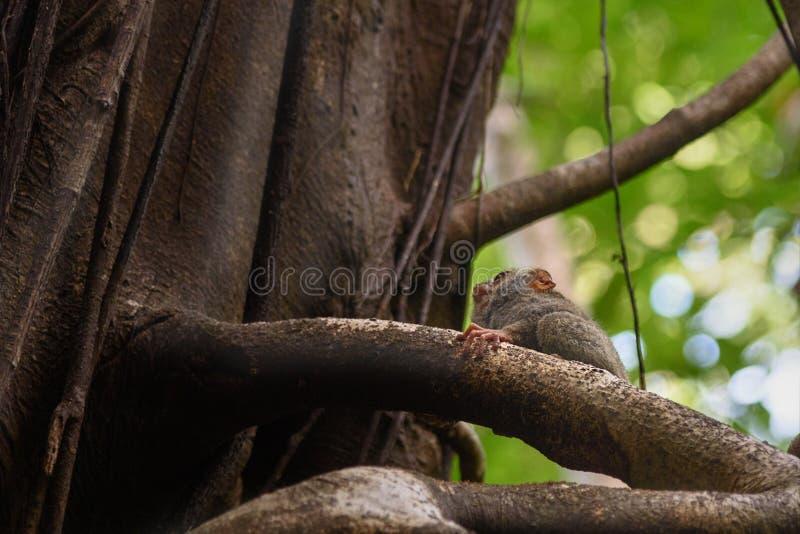 Spektralny Tarsier na drzewie w Tangkoko parku narodowym zdjęcia stock