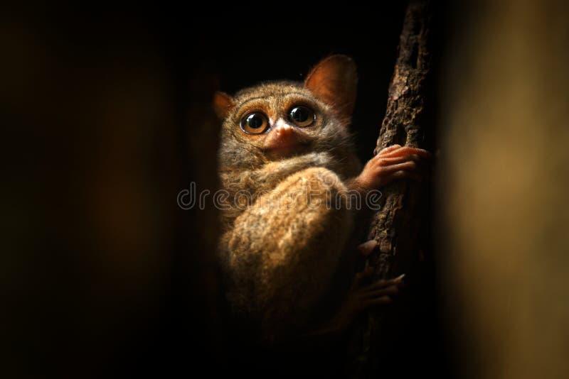 Spektralny Tarsier, Tarsius widmo, portret rzadcy endemiczni nocturnal ssaki, mały śliczny prymas w wielkim ficus drzewie w dż zdjęcie stock