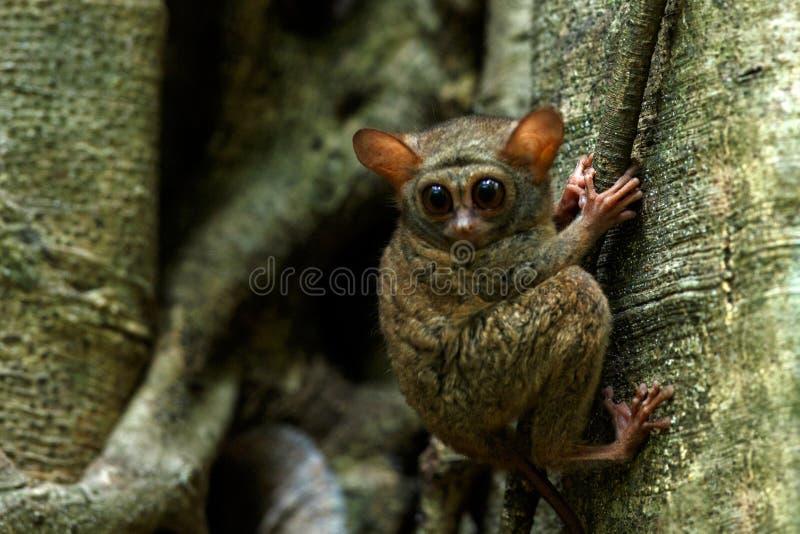 Spektralny Tarsier, Tarsius widmo, portret rzadcy endemiczni nocturnal ssaki, ma?y ?liczny prymas w wielkim ficus drzewie w d?ung fotografia stock