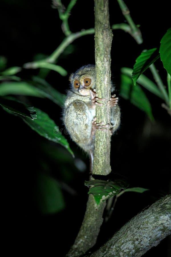 Spektralny Tarsier, Tarsius widmo, portret rzadcy endemiczni nocturnal ssaki, ma?y ?liczny prymas w wielkim ficus drzewie w d?ung zdjęcie stock