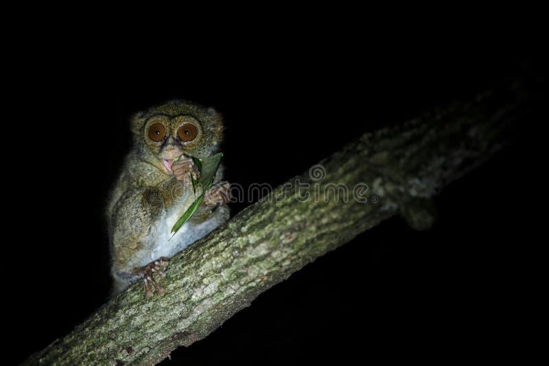 Spektralny Tarsier, Tarsius widmo, portret rzadki endemiczny nocturnal ssaka ?asowania pasikonik, ma?y ?liczny prymas w ampule obraz royalty free
