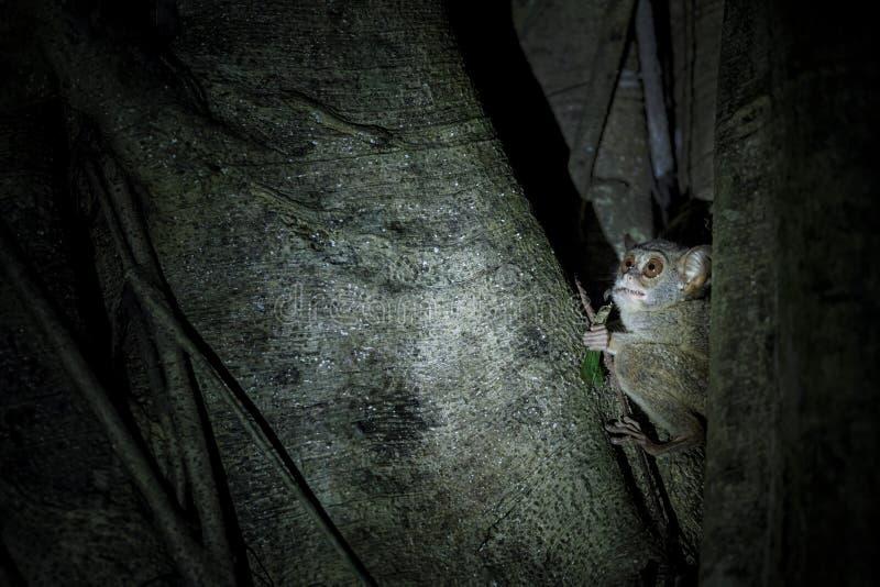 Spektralny Tarsier, Tarsius widmo, portret rzadki endemiczny nocturnal ssaka ?asowania pasikonik, ma?y ?liczny prymas w ampule zdjęcia royalty free