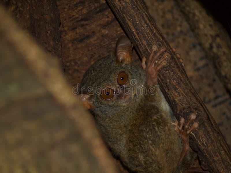 Spektralny tarsier w figi drzewie obrazy royalty free