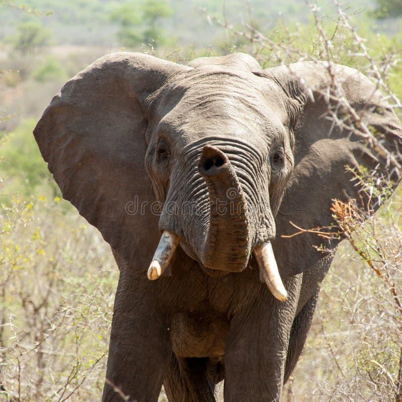 Spela elefanten arkivfoto