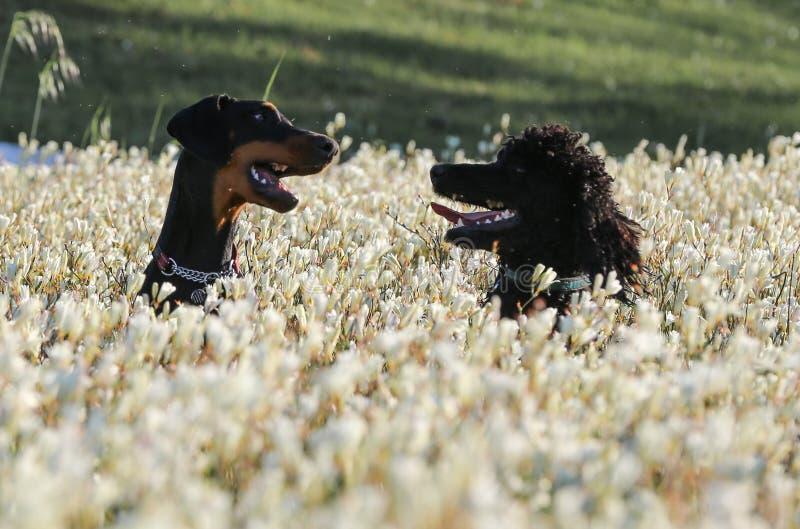 Spela för hundkapplöpning för standard pudel och Doberman arkivfoton