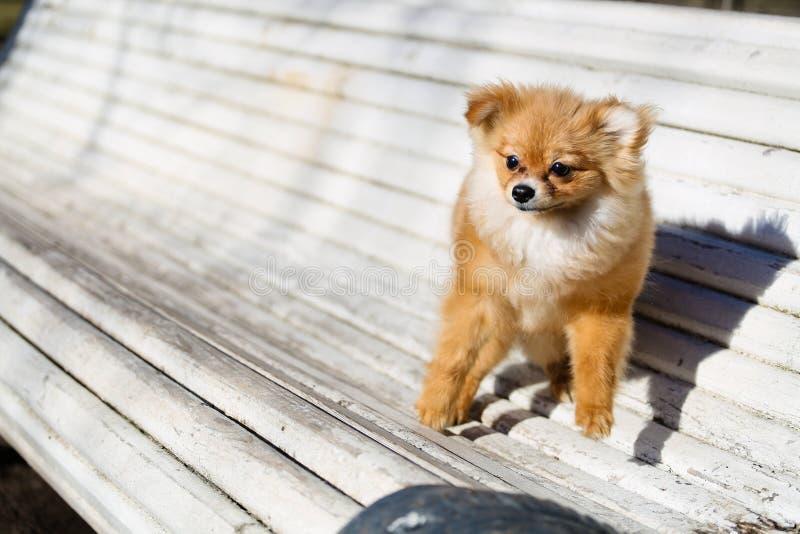 Spela för liten hund som är utomhus- på bänken royaltyfri foto