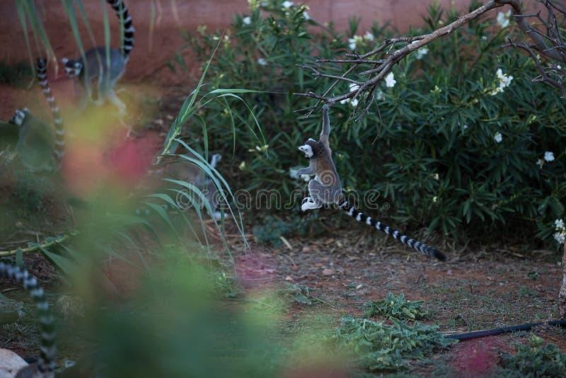 Spela för Madagascar maki royaltyfria foton