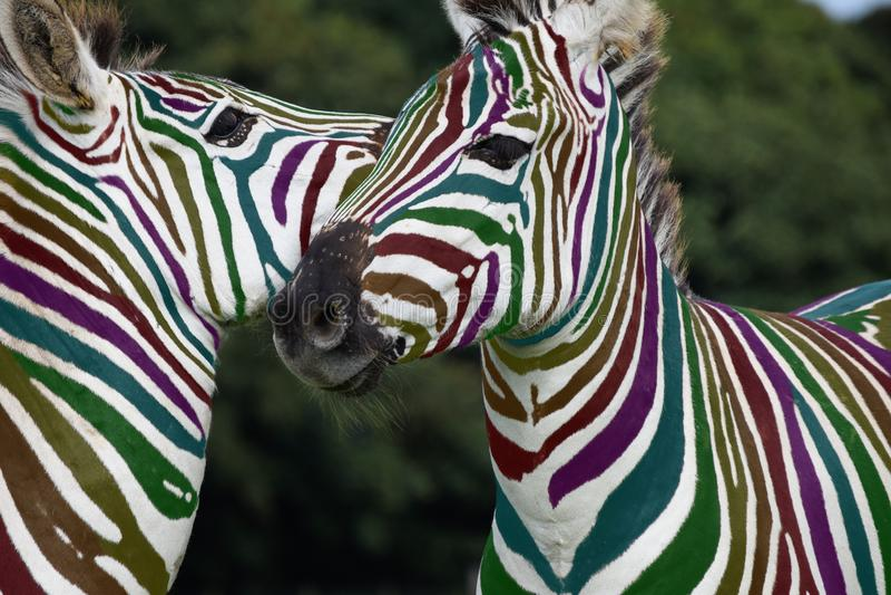 Spela för regnbågesebra royaltyfri foto