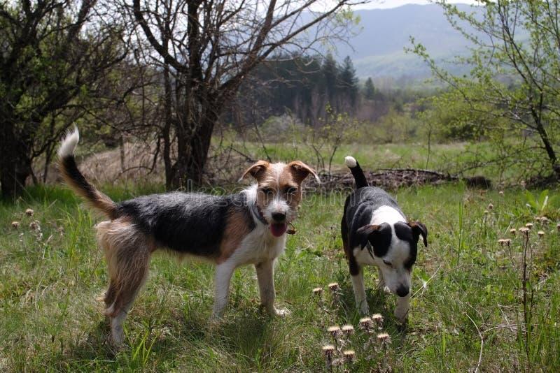 Spela för två gulligt hundkapplöpning arkivfoton