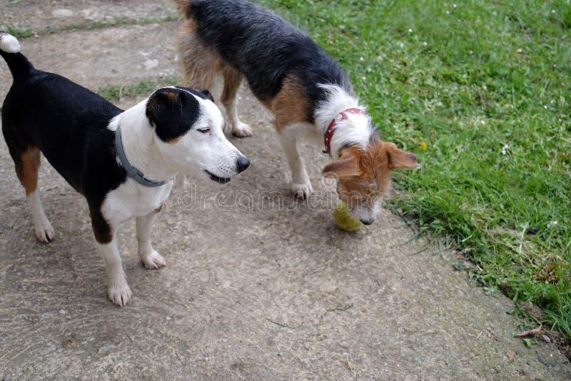 Spela för två gulligt hundkapplöpning arkivfoto