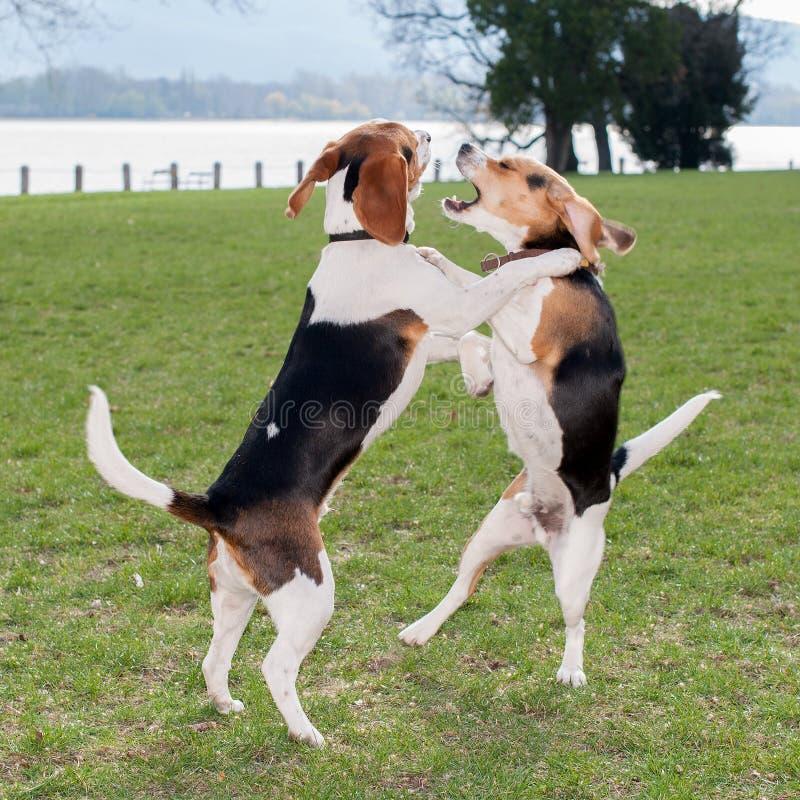 Spela för två hundkapplöpning arkivbilder