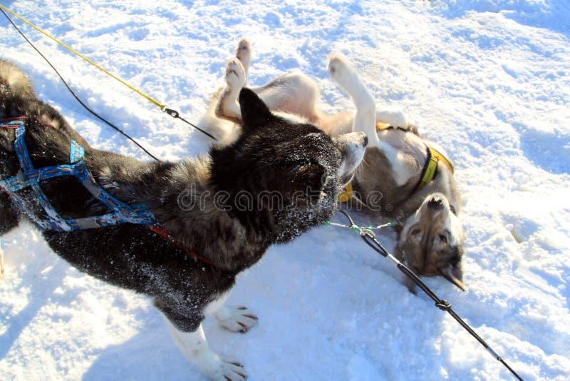 Spela för två slädehundkapplöpning royaltyfria bilder
