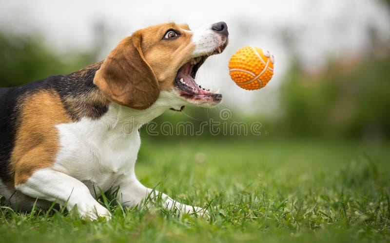 Spela fetch med den lättrörliga hunden royaltyfri foto