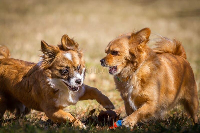 Spela hundkapplöpning royaltyfria foton