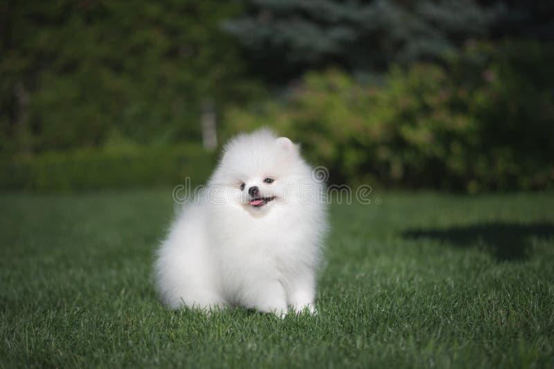 Spelar sitter den tyska spitzvalpen för den lilla härliga roliga vita hunden på körningar för grönt gräs och royaltyfria foton