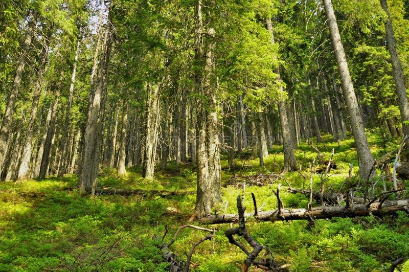 Speldenbos op een hoge berg royalty-vrije stock foto's