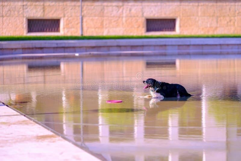Spelend met hond, frisbee openlucht stock foto's