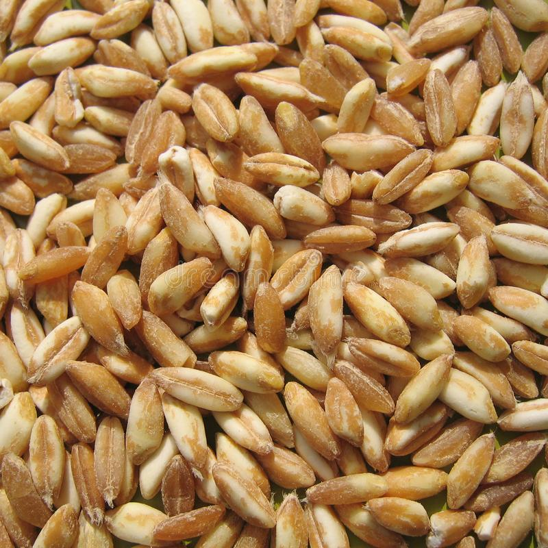 Spelt closeup. On a green surface royalty free stock photo