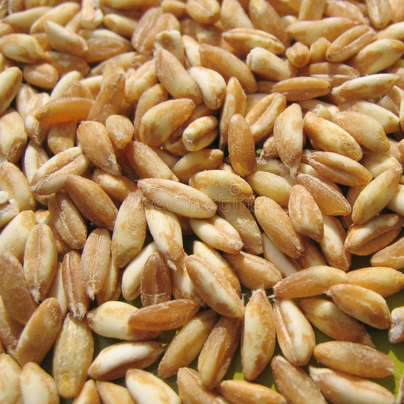 Spelt closeup. On a green surface royalty free stock photography