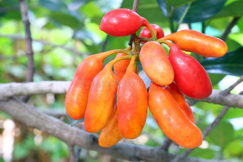 Spenar för carabaoen för Uvaria rufaBlume frukt, skogfrukt, buffel mjölkar röda frukter i skogen, Herb Rare Endangered Species i  arkivbilder