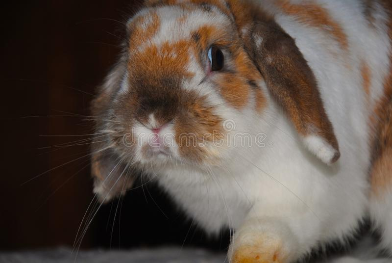 Spencer: weißes Kaninchen mit Braun lizenzfreie stockfotos