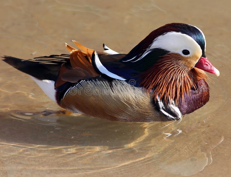 Mandarin duck swimming in the lake. Spend their honeymoons. / / refers to the male, Yang refers to the female. Mandarin Duck in animal taxonomy on Duck yuanyang royalty free stock photos