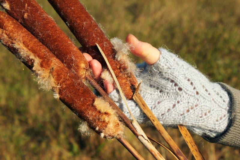 Spennatura a mano fuori dei semi lanuginosi di un cattail fotografia stock libera da diritti