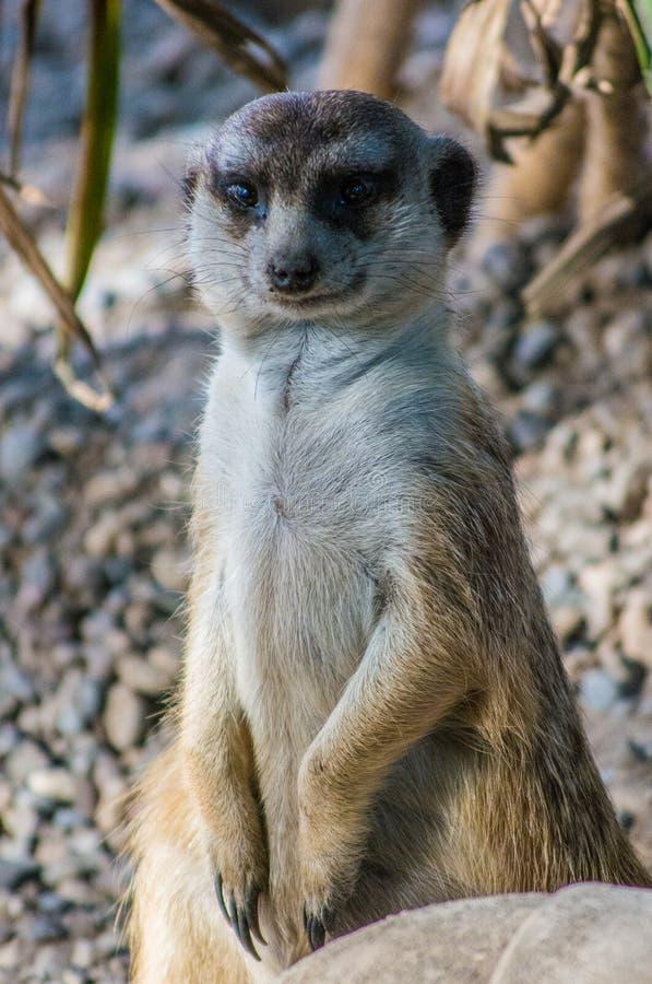 Spenslig tailed meerkat som står högväxt på stenigt jordslut upp arkivfoton