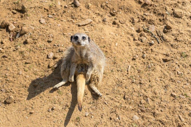 Spenslig tailed meerkat, Suricatasuricatta på den woburn safari parkerar fotografering för bildbyråer