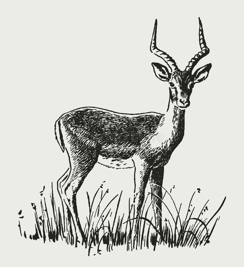 Spensligt anseende för RAM för impalaaepycerosmelampus i högväxta gräs vektor illustrationer