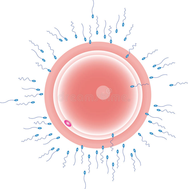 Download Sperm Cells Reaching An Ovum Stock Vector - Illustration of icsi, clinic: 15844254