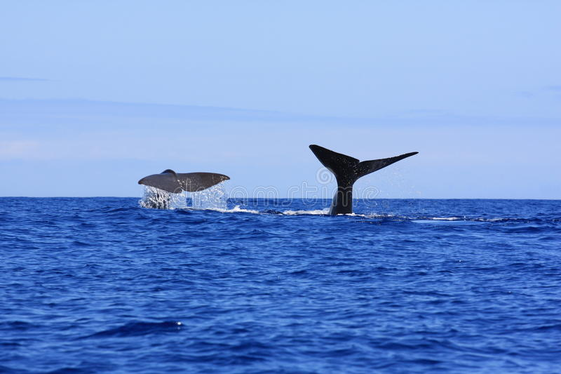 Download Sperm Whale fluke stock photo. Image of lajes, swim, aquatic - 20536470
