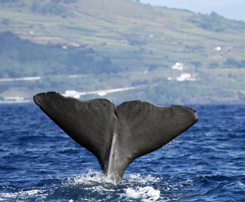 Sperm whale near Pico island, Azores. Sperm whale starts a deep dive - Pico island, Azores royalty free stock images